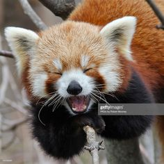 Note: The above totally legitimate list does not include Red Pandas. 5 Reasons Pandas Wouldn't Make Good Best Friends Laughing Animals, Smiling Animals, Happy Animals, Animals And Pets, Sleepy Animals, Wild Animals, Laughing Face, Animals Images, Cute Little Animals