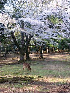 さくら咲く東大寺境内