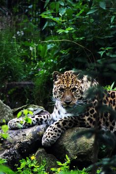Amur Leopard--ONLY ABOUT 30 OF THESE BEAUTIFUL CREATURES LEFT ON EARTH. PLEASE HELP AND DONATE TO THE WWF