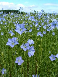flax blooming