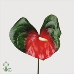 Anthurium Amigo are a dark green & red variety with a cream stamen. 12 stems per box = medium to large flower heads.