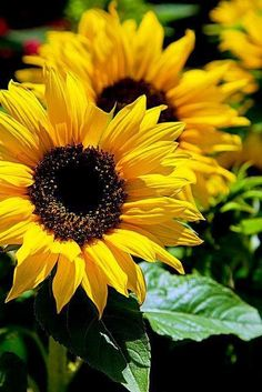 Out of several beautiful flowers, today we have picked some beautiful sunflower pictures for you. This flower is named as sunflower because it looks like sun… Happy Flowers, My Flower, Yellow Flowers, Beautiful Flowers, Sun Flowers, Cactus Flower, Exotic Flowers, Sunflower Garden, Sunflower Art