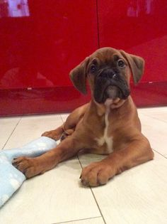 Boxer puppy. I want him.