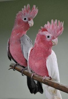 How much rose breasted cockatoo