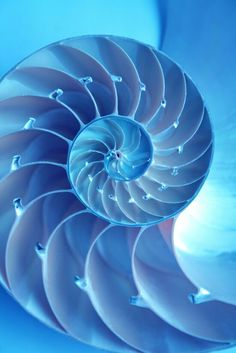 the snail who lives inside there is lucky it is a chamber nautilus and the inside of the shell is a pearl white not blue this is fake