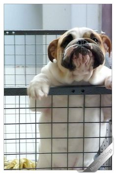The major breeds of bulldogs are English bulldog, American bulldog, and French bulldog. The bulldog has a broad shoulder which matches with the head. Bulldog Breeds, English Bulldog Puppies, I Love Dogs, Puppy Love, Cute Puppies, Cute Dogs, Corgi Puppies, Beagle, Funny Dogs