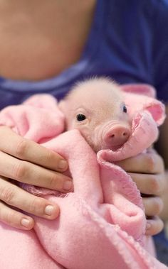Pink pig in a pink blanket. A pink blanket on a pink pig. A pig in a blanket. Cute Baby Animals, Funny Animals, Farm Animals, Pigs In A Blanket, Pink Blanket, Mini Pigs, Cute Piggies, Baby Pigs, Baby Baby
