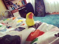 Bir Tomris Günaydını.  Tomris & Oburiks   #Tomris #Oburiks #TomrisOburiks #sevdapapağanı #cennetpapağanı #agapornis #petphotography #animalsofinstagram #birdsofinstagram #agapornisofinstagram #lovebirdsofinstagram  #lovebird #instabird #birdlovers #petbird #parrot #parekeet