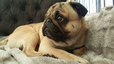 My sweet pug Bikkel