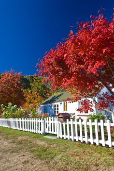 Autumn colours, Red Acer Tree & old cottage in historic Arrowtown, Central Otago, South Island, New Zealand