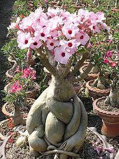 Adenium - Rosa do Deserto