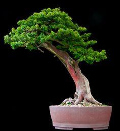 (via bonsai-fachforum.de • Thema anzeigen - Willze watt auf´s Auge?)
