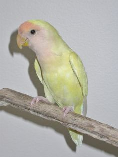 Lovebird - Lutino African Lovebirds, Gemini And Aquarius, Pastel Yellow, Cute Birds, Parrots, Beautiful Birds, Cute Pictures, Zodiac, Peach