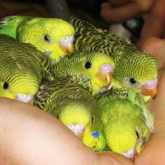 Wonderful Free of Charge Pet Birds budgies Suggestions If you share your lifetime — and home — with a pet bird, containing mess and keeping the cage cl Funny Birds, Cute Birds, Pretty Birds, Beautiful Birds, Animals Beautiful, Baby Parakeets, Parakeet Bird, Cute Baby Animals, Colorful Birds