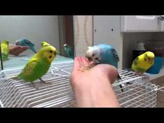 Parakeet training will increase your birds ability to do tricks and speak words. Learn parakeet tricks and how to tame a parakeet easily. Budgie Parakeet, Cockatiel, Budgies, Baby Parakeets, Parakeet Care, Budgie Toys, Parrots, Pet Bird Cage, Dove Bird
