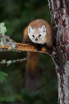 """beautiful-wildlife: """"Curious Pine Marten by Daniel Cadieux Algonquin Park, Ontario, Canada """" Animals Of The World, Animals And Pets, Cute Animals, Wild Creatures, Woodland Creatures, Animal 2, Mundo Animal, Wild Animals Pictures, Animal Pictures"""