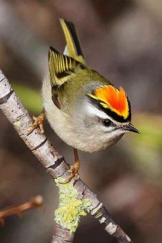 Taiwan Firecrest, Regulus goodfellowi. Endemic to the mtns Taiwan. via Carol's Country Sunshine on Facebook