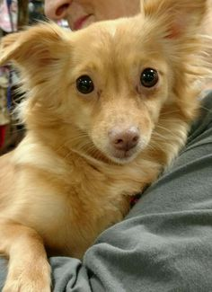 Carrie is an adoptable Chihuahua searching for a forever family near Cincinnati…