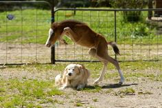 Love the dogs face. That little foal can jump! Dem Knees!