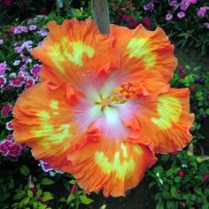 Hibiscus 'All Aglow'    please follow me on Facebook. At Beautiful Plants, butterflies and cool pictures. Thanks