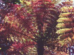 New Zealand Tree Fern Cross Process Matte - Joan Carroll   #tree #treefern #newzealand #trees #foliage #photography