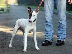 15 month old male Whippet cross English Bull Terrier dog