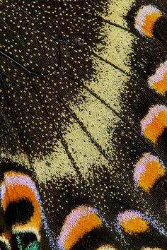 Papilio Maackii Butterfly Wing close-up photograph by:  Darrell Gulin