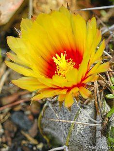 Astrophytum capricorne cactus flower