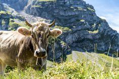 Alpweiden in Engelberg Engelberg, Switzerland, Wanderlust, Animals, Hiking Trails, Vacations, Traveling, Pictures, Woods