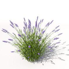 lavender plant flowers 3d model