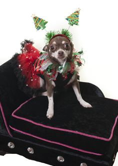 I went all out this Christmas 2015 with my head gear I love the cute look #celebdog #queeniewoofwoof