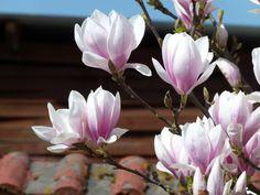 Fotos und Aquarelle von der Magnolienblüte | Magnolienblüten in Rosa (c) Frank Koebsch
