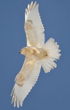 "akeli: "" Leucistic Rough-legged Hawk by Duane Starr "" A selection of bird photos Pretty Birds, Love Birds, Beautiful Birds, Animals Beautiful, Nature Animals, Animals And Pets, Cute Animals, Bird Wings, Hawk Wings"