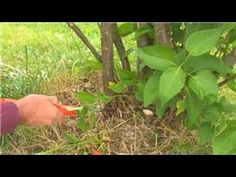 How and When To Prune Lilacs: Tips on Pruning Lilacs For Bigger Blooms | hubpages