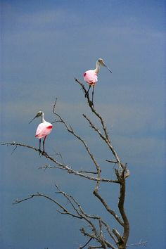 Mating pair of roseate spoonbills perching on hurricane-felled tree, Hillsboro Bay, Florida... Hope I get to show these guys to brad while we are in NOLA...