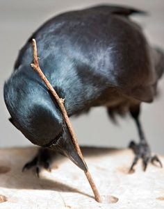 Bird using a stick as a tool