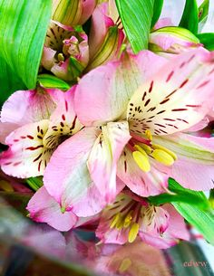 Peruvian Lilies March Flowers