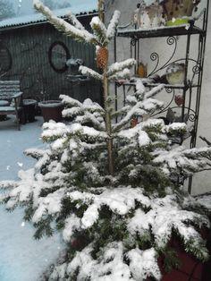24 jan 2015 : onze kerstboom staat nu lekker in de tuin. Laters ga ik hem in de grond potten.