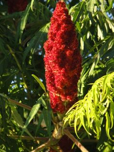 How and Why To Eat Sumac Nature's Lemonade » The Homestead Survival