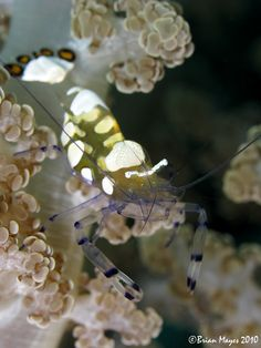 Short-head Anemone Shrimp (Periclimenes brevicarpalis) | Flickr - Photo Sharing!
