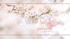 Sakura Anata ni Deaete Yokatta - Thuần Chi    樱花樱花想见你 - 淳之