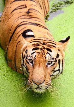 Bengal Tiger in The Sundarbans, Bangladesh - a UNESCO World Heritage area.