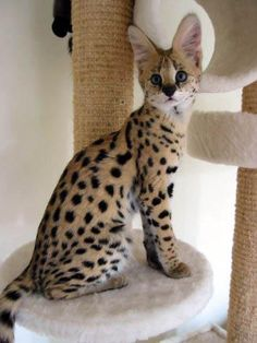 ☛Serval Kitten. The serval (Leptailurus serval) known in Afrikaans as Tierboskat, tiger-forest-cat, is a medium-sized African wild cat.☚
