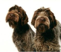 This is an essential skill to keep Wirehaired Pointing Griffons as foot-hunting dogs and not just another out-of-control field trialing breed. Big Black Dog Breeds, Large Dog Breeds, Wirehaired Pointing Griffon, Griffon Dog, I Love Dogs, Cute Dogs, Funny Dogs, Irish Terrier, Cute Dog Pictures