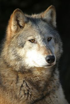 Timber Wolf by Buggers1962