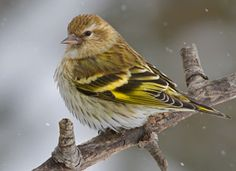 Pine Siskin - These cute little birds are smaller than a house finch and have a sweet little twitter.