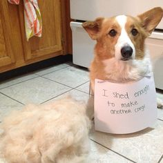 saltlesssea:  #dogshaming #corgis #somuchfur #neverending  Thats about right.  But there aint no shame in that!