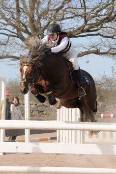 Welsh Cob (section D) stallion Fjordglimt Sir Thomson