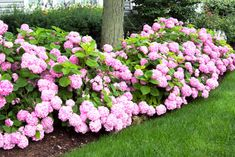 Hydrangeas require shade, moisture. - Neil Sperry