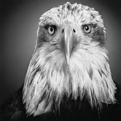 Realistic Pencil Drawing of an Eagle - posted by vicked.vicky on forum.xcitefun ...artist not listed...